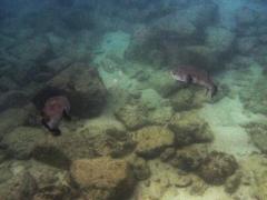 Big porcupinefish