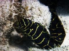 Chain moray eel