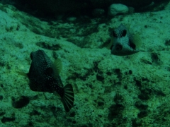 Pair of Trunkfish