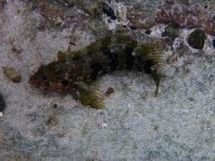 Quillfin blenny - female