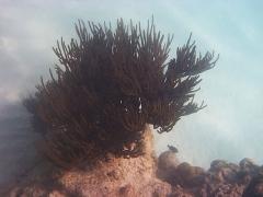 Coral at Baby Beach