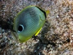 Four eyed angel fish