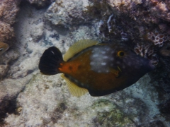 Orange Filefish