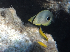 Small foureye butterflyfish