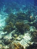 Coral at Mangel Halto
