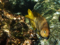 Damselfish, Baby Beach