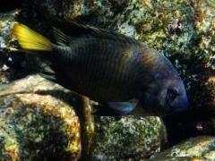 Yellowtail damselfish, Baby Beach