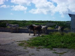 Wild Donkeys, Aruba