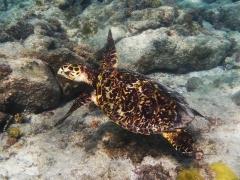 Hawksbill turtle, Aruba