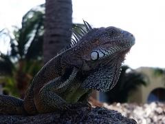 Iguana, Aruba