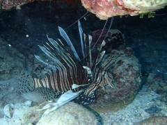 The pesky lionfish