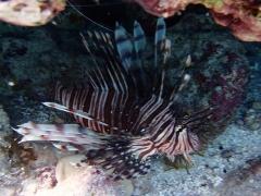 Lionfish at Malmok