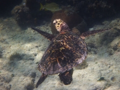Hawksbill turtle, Arashi Beach