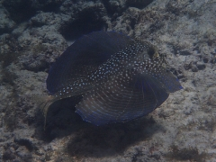 Flying gurnard, Boca Catalina, Aruba