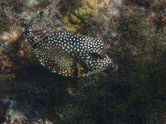 Smooth trunkfish, Malmok Beach, Aruba