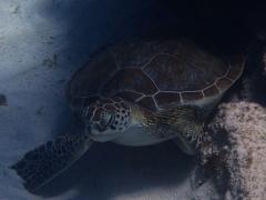 Green turtle, Aruba