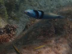 Bluehead wrasse, Aruba