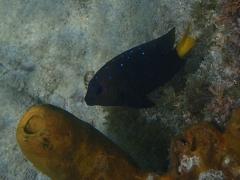 Yellowtail damselfish, Aruba