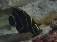 Juvenile French Angel, Aruba