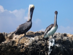 Pelicans guard the wall