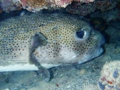 Porcupinefish and green moray