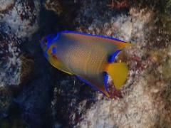 Queen angelfish,