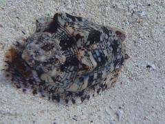 Shelled creature, Boca Catalina, Aruba