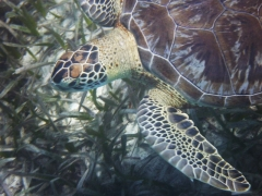 Green Turtle, Boca Catalina, Aruba