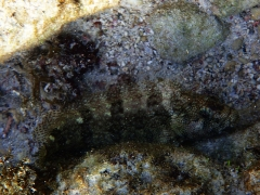 A type of blenny