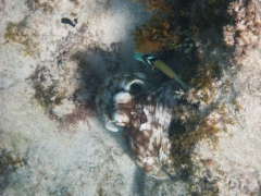 Octopus, Malmok Beach