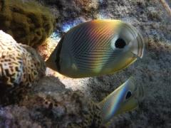 Foureyed Butterflyfish