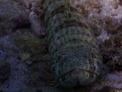 Sand diver, closeup