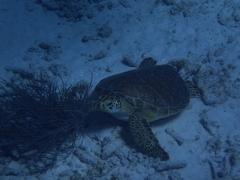 Turtle, Mangel Halto