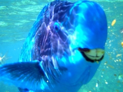 Smiling blue parrotfish...