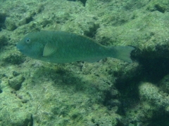 Another parrotfish