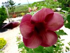 Pretty flower near the California Lighthouse
