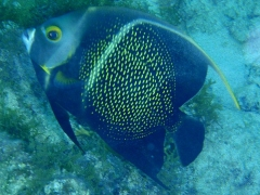 The French Angelfish again!