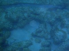 A large trumpetfish