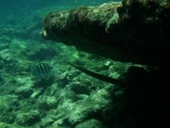 Cool trumpetfish