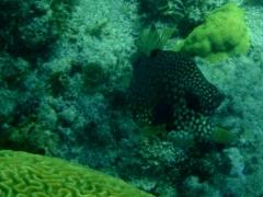 Trunkfish again