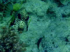Trunkfish again