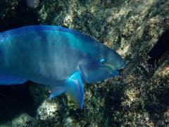 Parrotfish munches