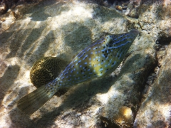 Filefish, Bonaire