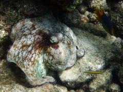 Octopus, Bonaire