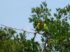 Couple of Lora Parrots