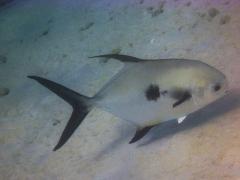 Permit fish, Bonaire, May 17, 2013