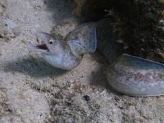 Purple mouth moray