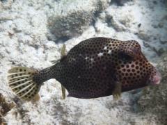 A large boxfish