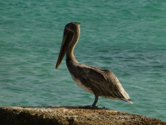 Pelican at Salt City