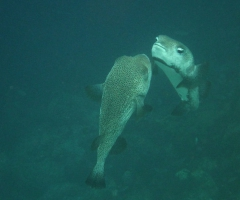 Couple of porcupine fish